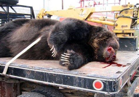 dwindling grizzlies